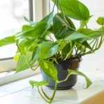 A pot with a devil's ivy plant sits on a window ledge by an open window.